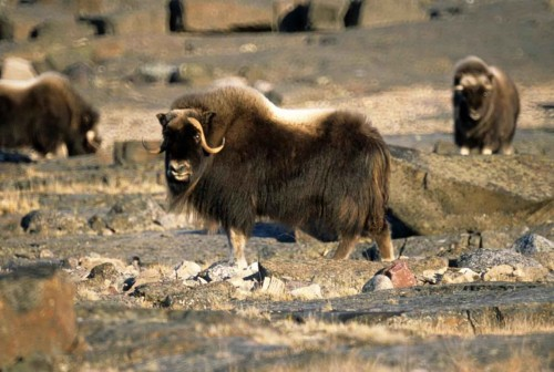 male-musk-ox-animal-mammal