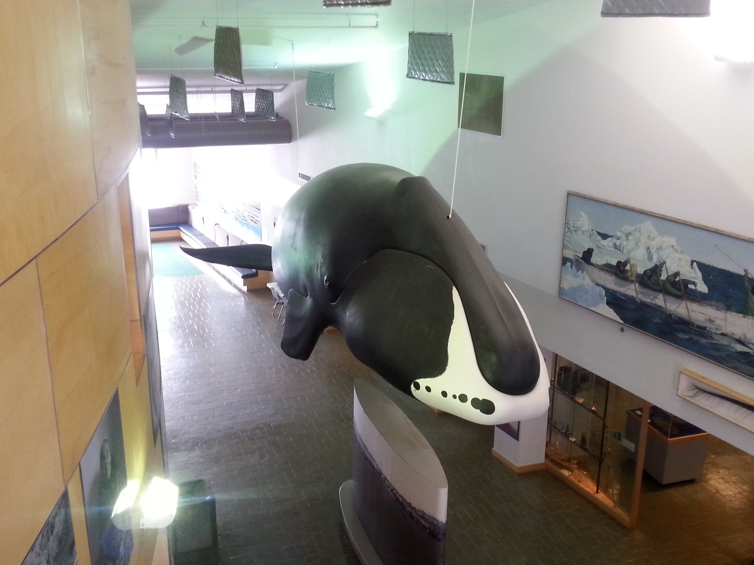 This replica of a bowhead whale hangs suspended in the Museum of the North. Filmmakers from UAF are working on a bowhead documentary set to premier in October. Photo: arcticcurrents.wordpress.com