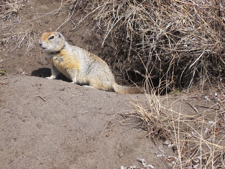 The arctic ground squirrel. These little guys have the unique ability to maintain a precisely rhythmic internal clock despite the sun remaining above or below the horizon for long periods in the arctic summer and winter. Photo: Alicia Gillean