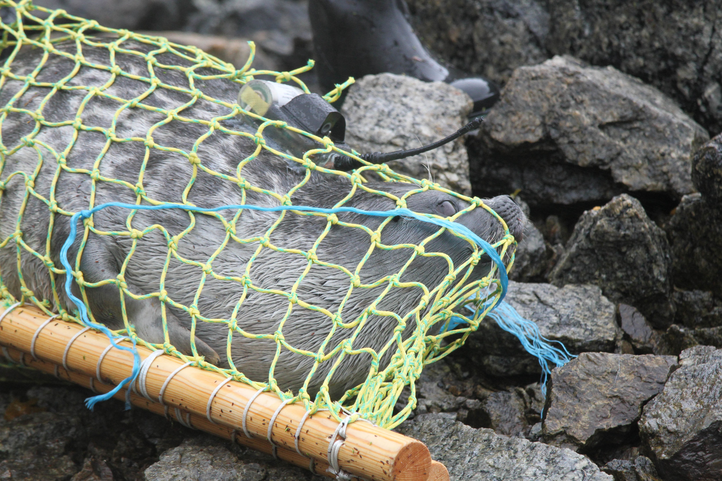 After restraining the seal in a hammock, researchers efficiently fix a tag with a sensor onto the back of the seal's neck with epoxy glue. The entire process takes about 15 minutes.