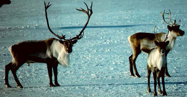 A recent study shows that caribou have the ability to metabolize pesticides, thereby preventing them from accumulating in the food chain. Photo: Government of NW Territories, Division of Natural Resources