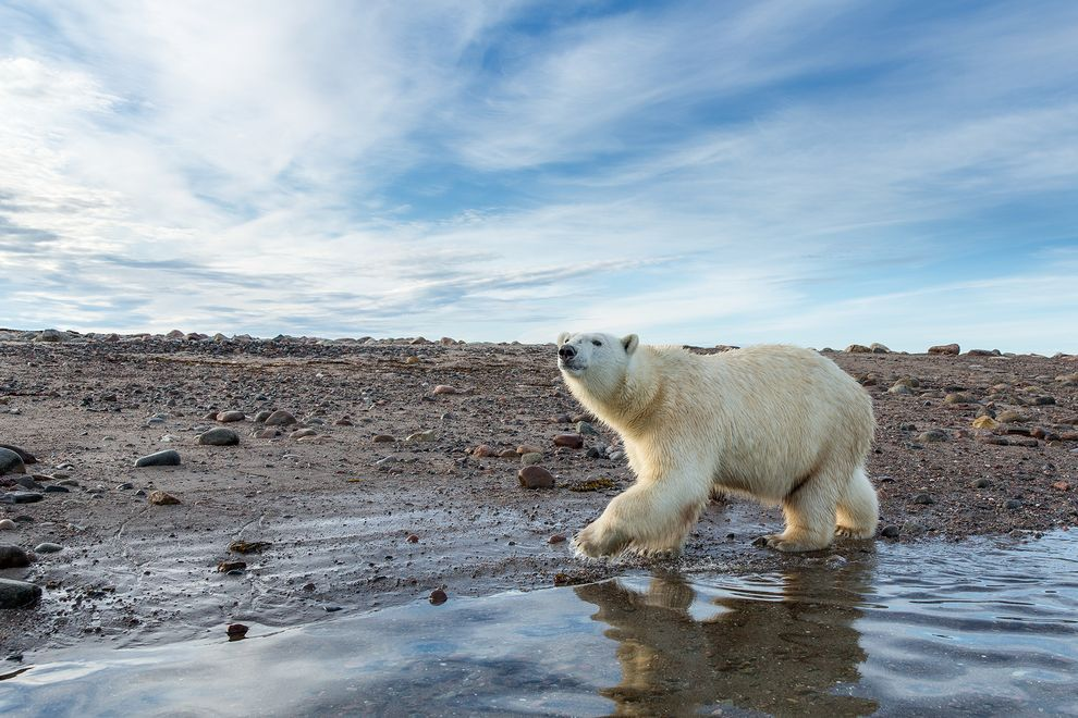 Shrinking sea ice will likely result in more polar bears subsisting on land. Scientists studying polar bear diets have found the bears ingest a more diverse land-based repertoire than previously thought. Photo: Paul Souders, Corbis