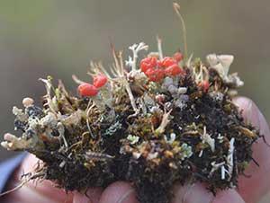 Fungi on the road. Photo: Alaska Geobotany Center