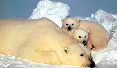 New research shows that polar bears dine on geese and goose eggs more than previously known. Photo: New York Times