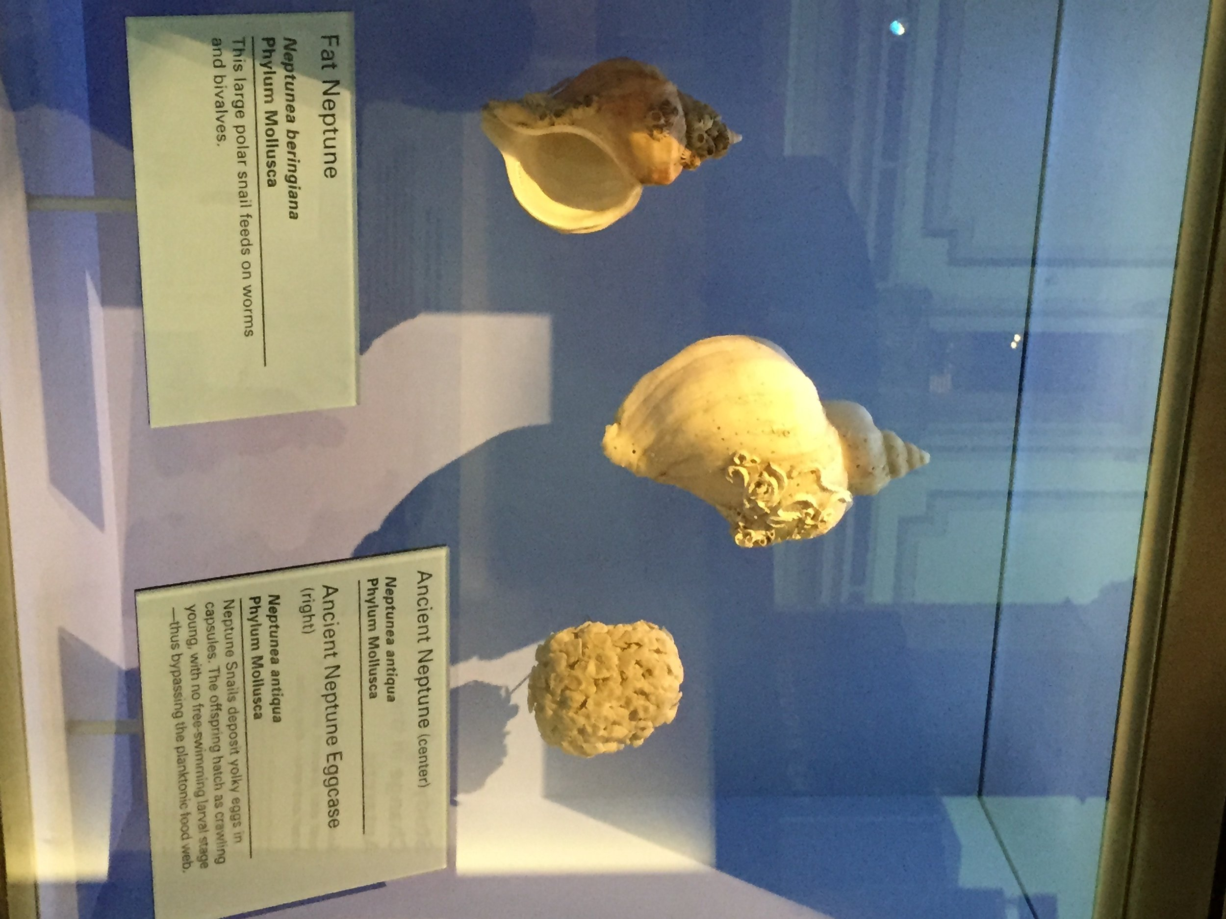 The Arctic Ocean's charismatic mega fauna didn't get all the attention. From krill to whelks, like the fat Neptune, museum exhibits highlighted the ecological importance of some of the Arctic Ocean's smaller inhabitants.