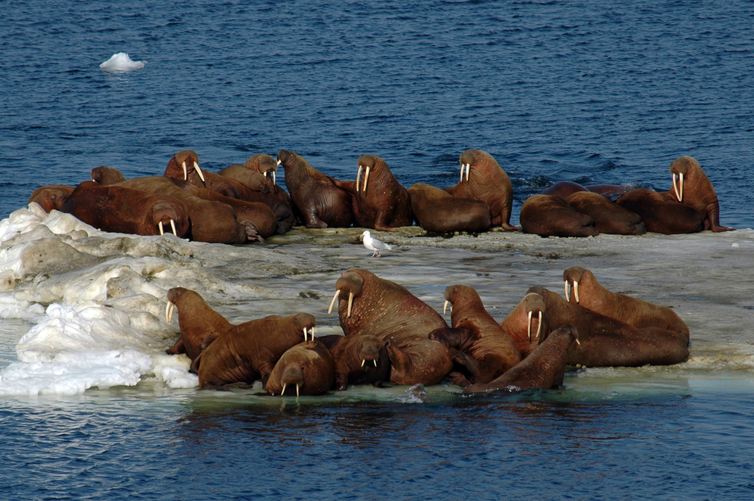 Declining Arctic sea ice impacts walrus herds, which use the ice for hunting,resting, mating and raising young. The report details the complex outlook for this species Photo: Karen Frey, Clark University