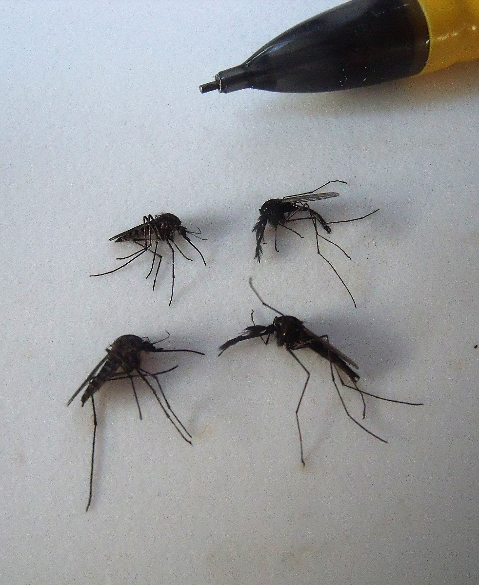 Female, left, and male mosquitoes. Photo: Lauren Culler