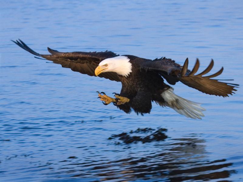 AK-Bald-Eagle_31521_24362-800x600.jpg