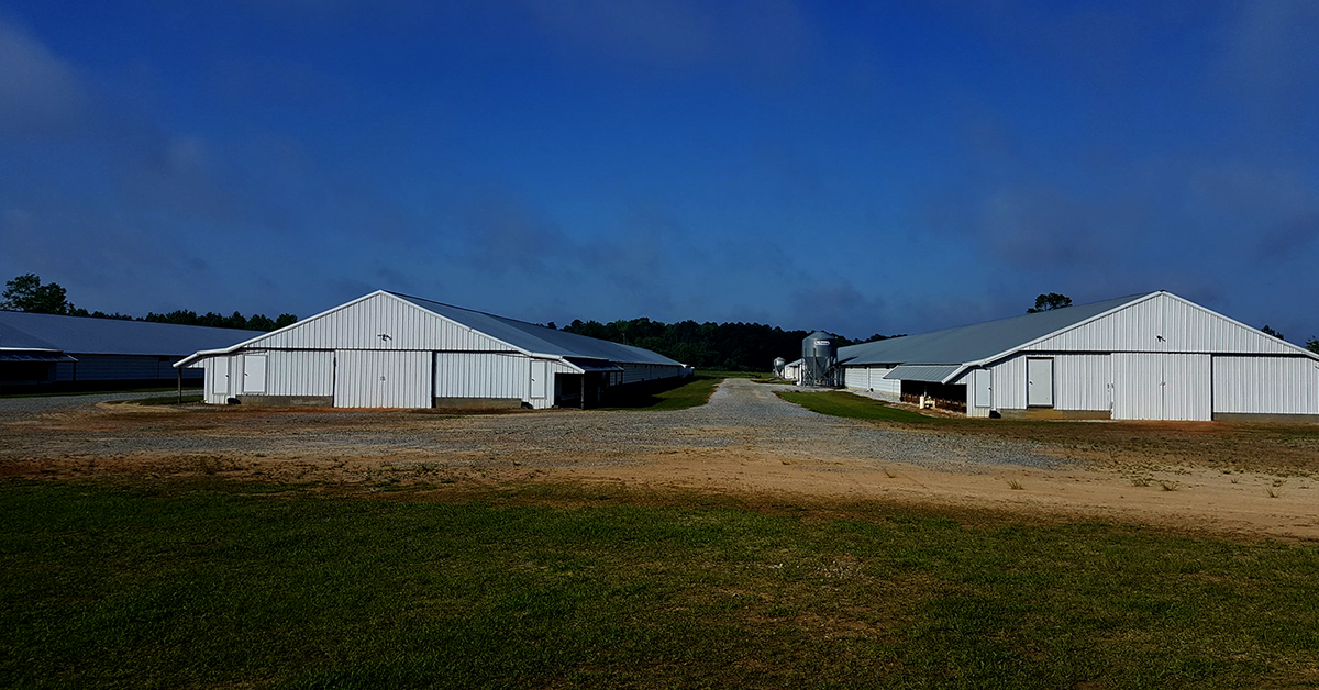 Typical pullet barns.