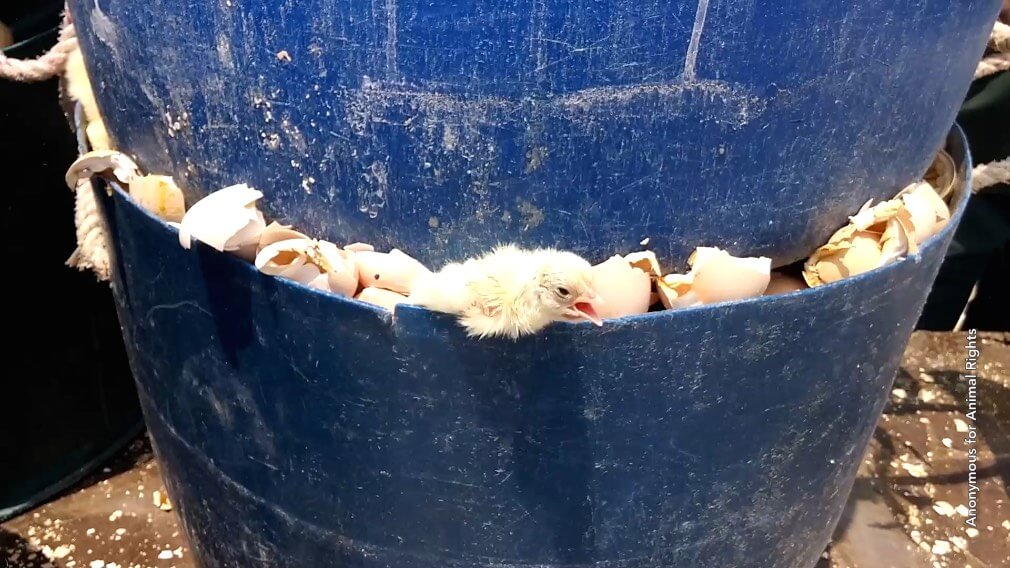 An injured baby chick tries to escape an incinerator. Photo credit: Anonymous for Animal Rights.