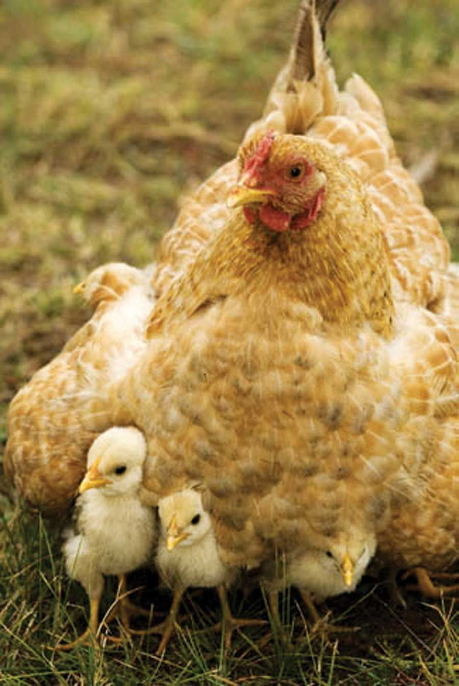 A mother hen and her baby chicks.