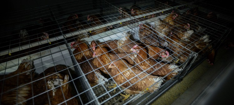 A typical battery cage (Australia). Photo credit: Jo-Anne McArthur/We Animals