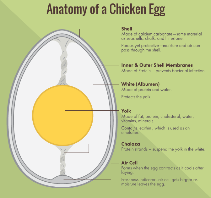 anatomy-of-a-chicken-egg.png