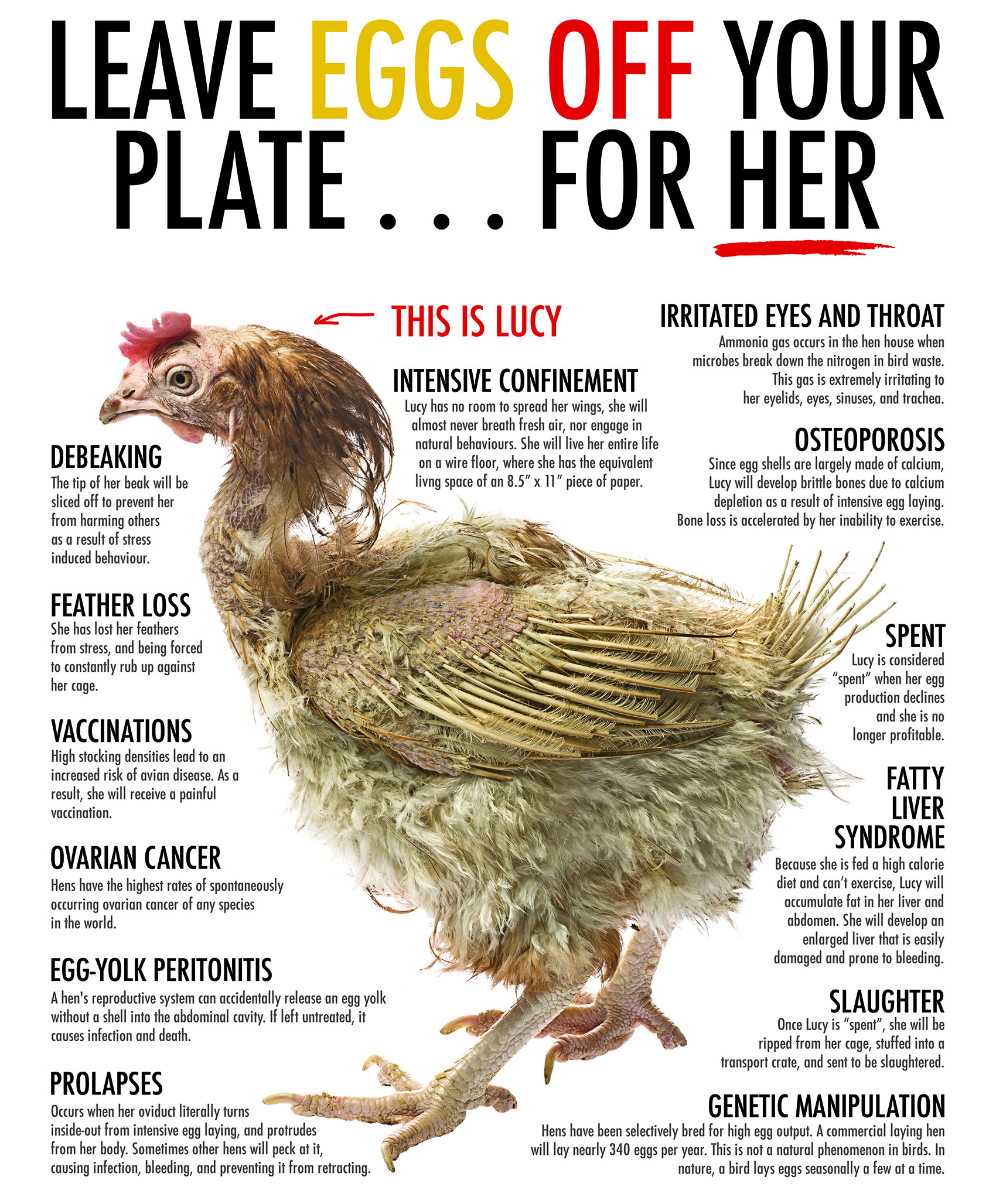 Surrounding Lucy in the picture above are descriptions of all the illnesses and conditions endured by hens on egg laying farms. Life for Lucy and all her cage mates has been one of deprivation and misery.