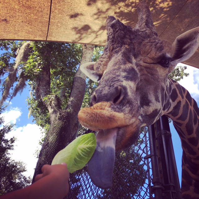 """""""World Giraffe Day""""  at the Central Florida Zoo in Sanford- Saturday June 17, 10am to 3pm"""