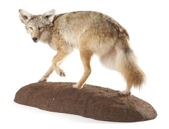 coyote700.jpg