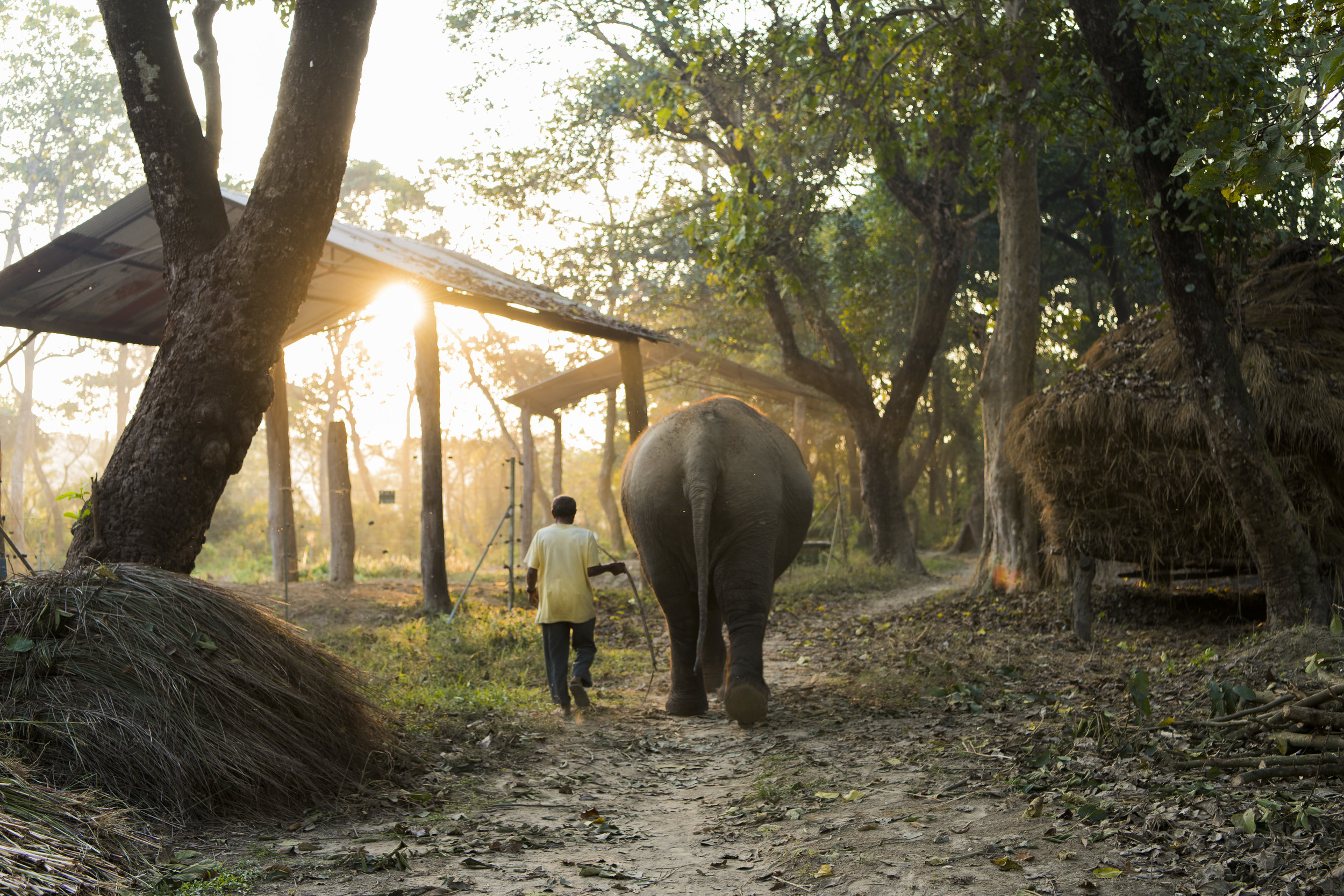 Nepali Mahout Guides Elephant Back to Enclosure.jpg
