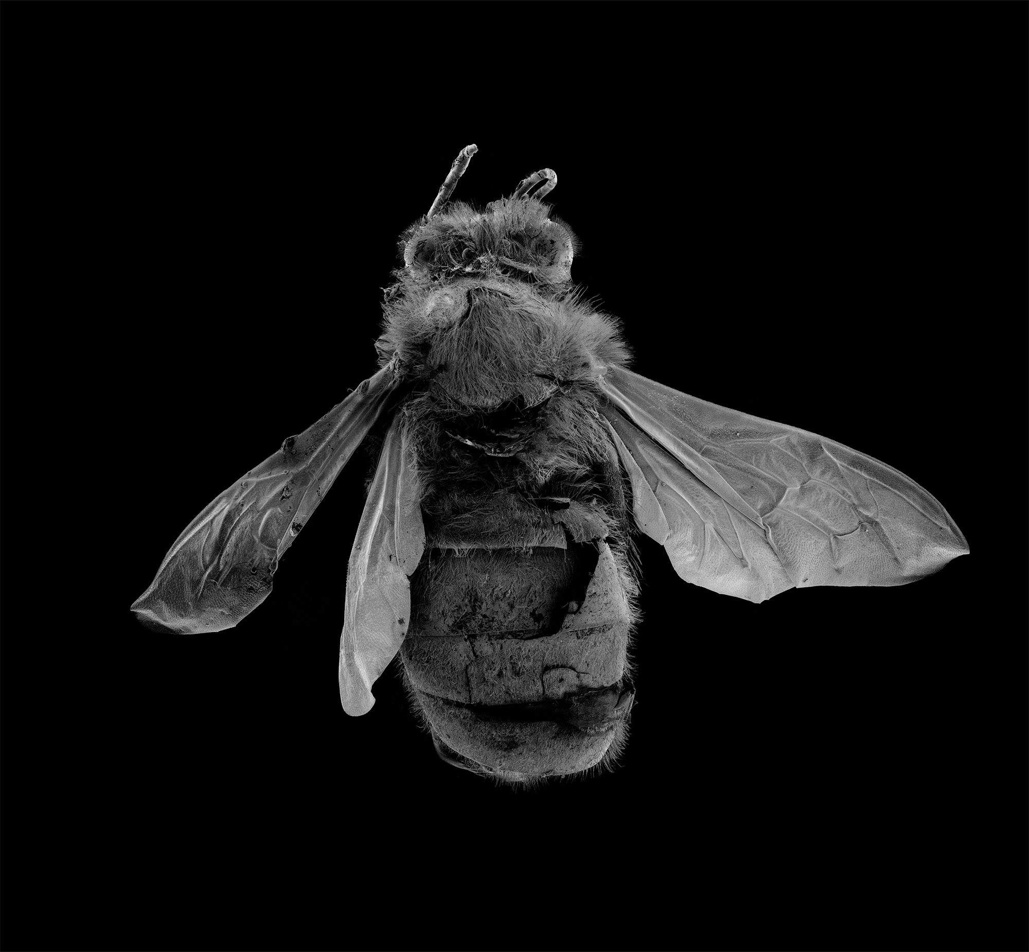 Elise_Gellweiler_EuropeanHoneyBee_2017_165cmx150cm_Microscopy.jpg