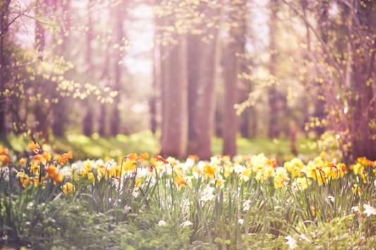 daffodils_forest_g_wp-e1444793487533.jpg