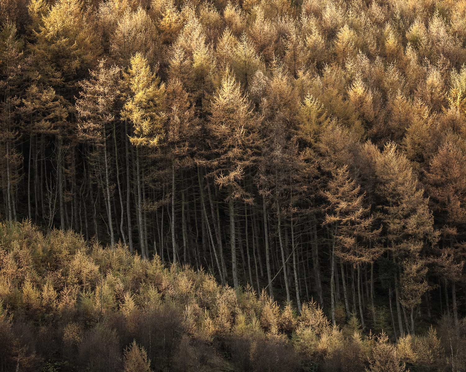 Trees of Gold, Woodlands Valley, Derbyshire [EW14]