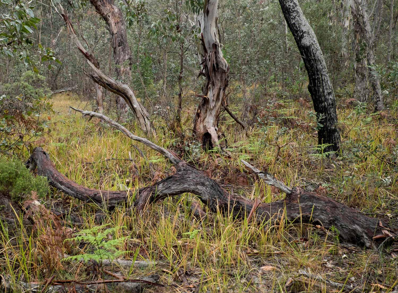 Fallen Tree, Girraween NP [GIR15]