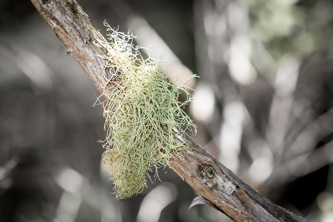 Old Man's Beard (or Lichen)