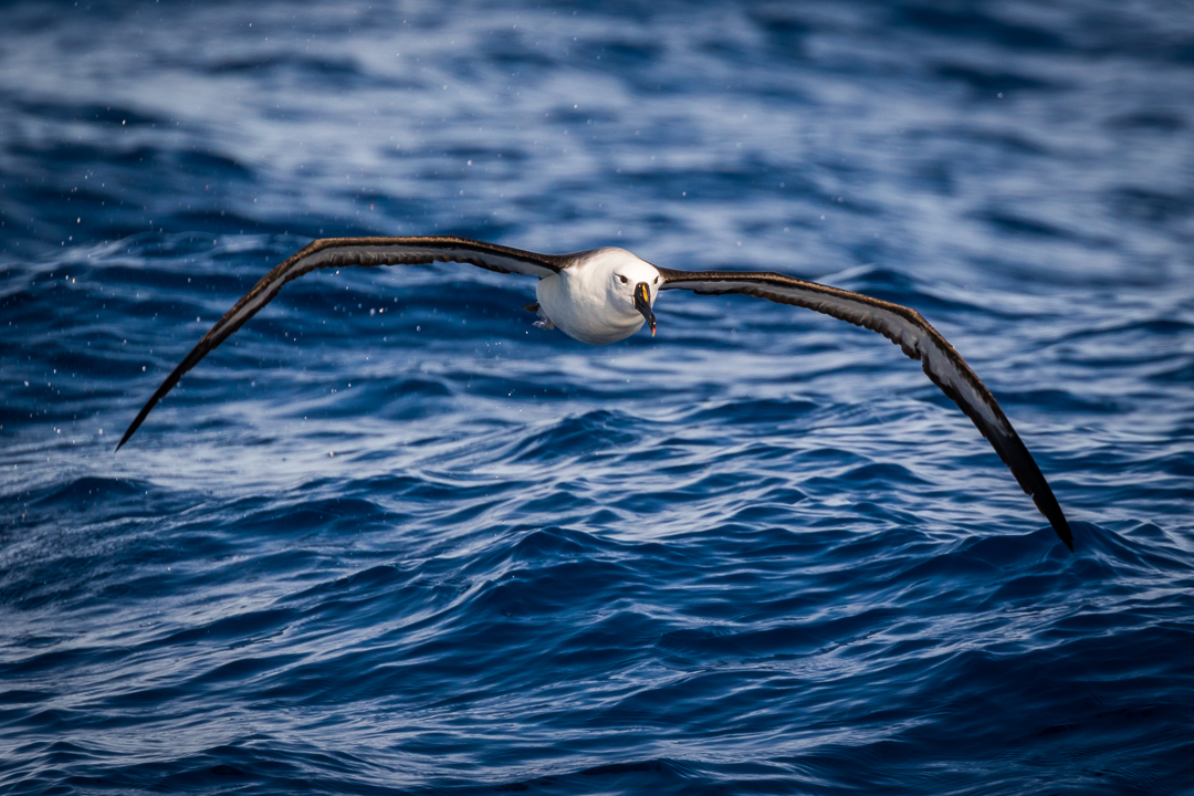 Yellow Nosed Albatross
