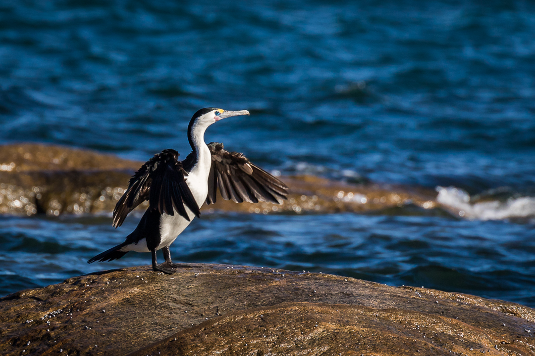 Pied Cormorant drying its wings
