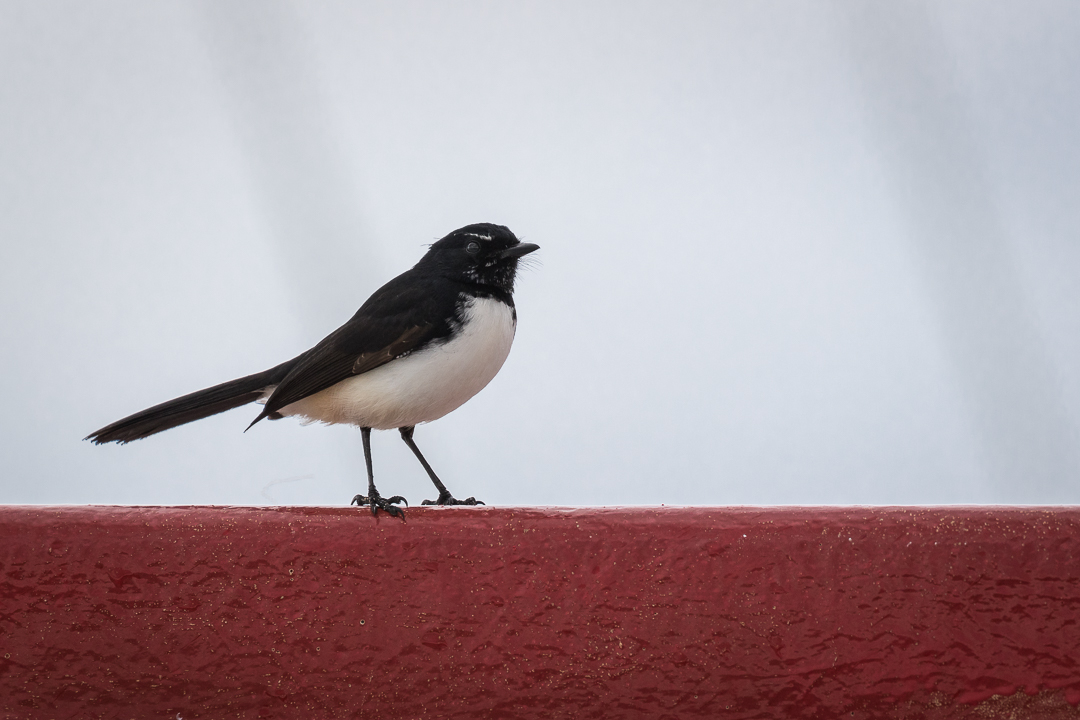 Willie Wagtail sitting on top of ferry