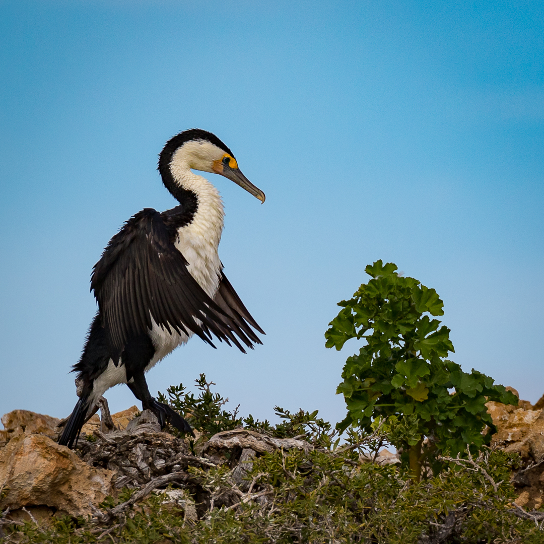 Pied Cormorant
