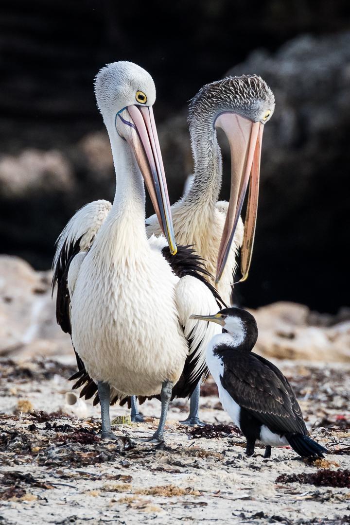 Pelican vs. Cormorant