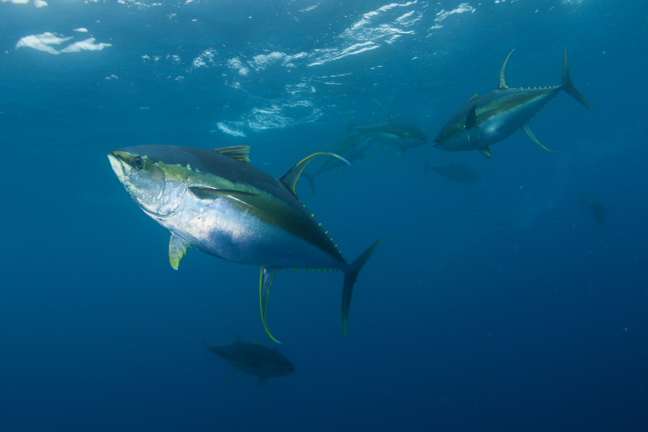 Yellowfin tuna in the open ocean.