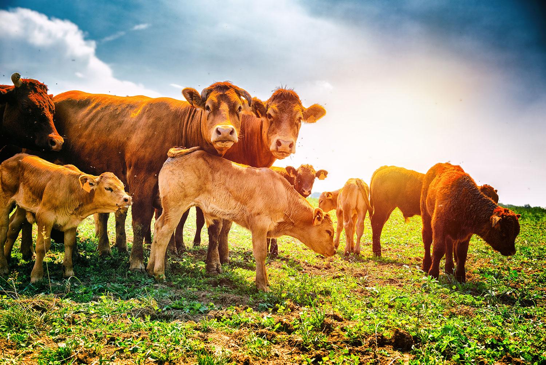 dairy-cows-yummy-pub-co.jpg