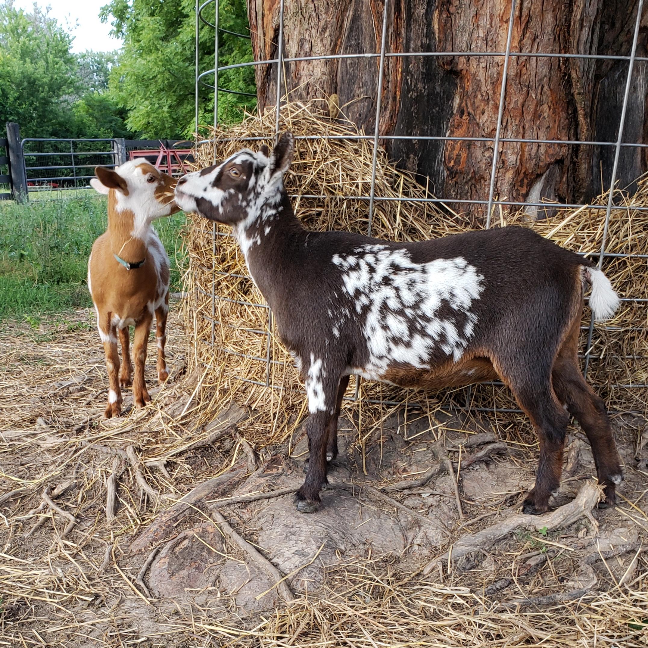 Goat Maid's Farm Yah Meishka