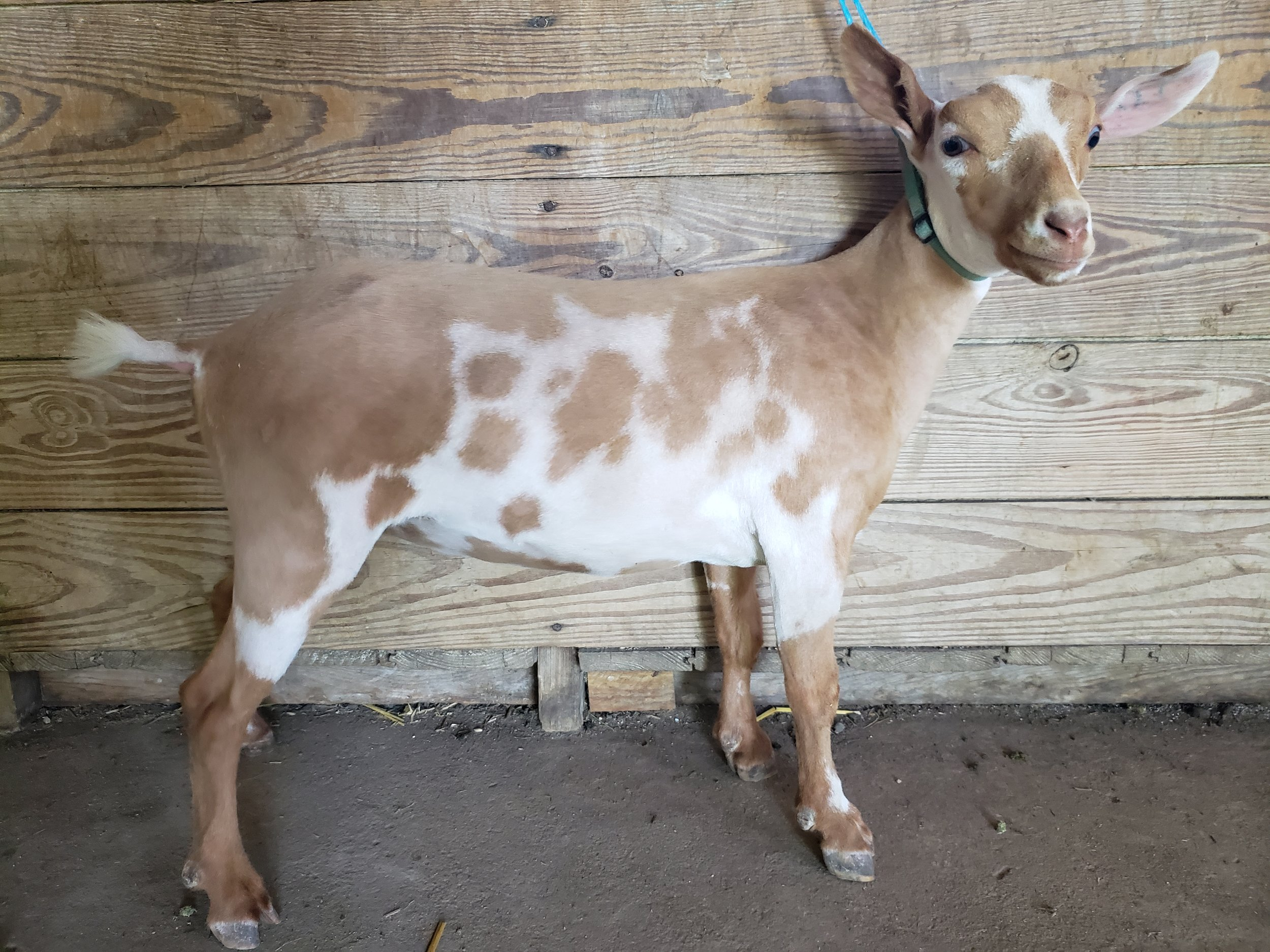 Goat Maid's Farm Yah Johanny