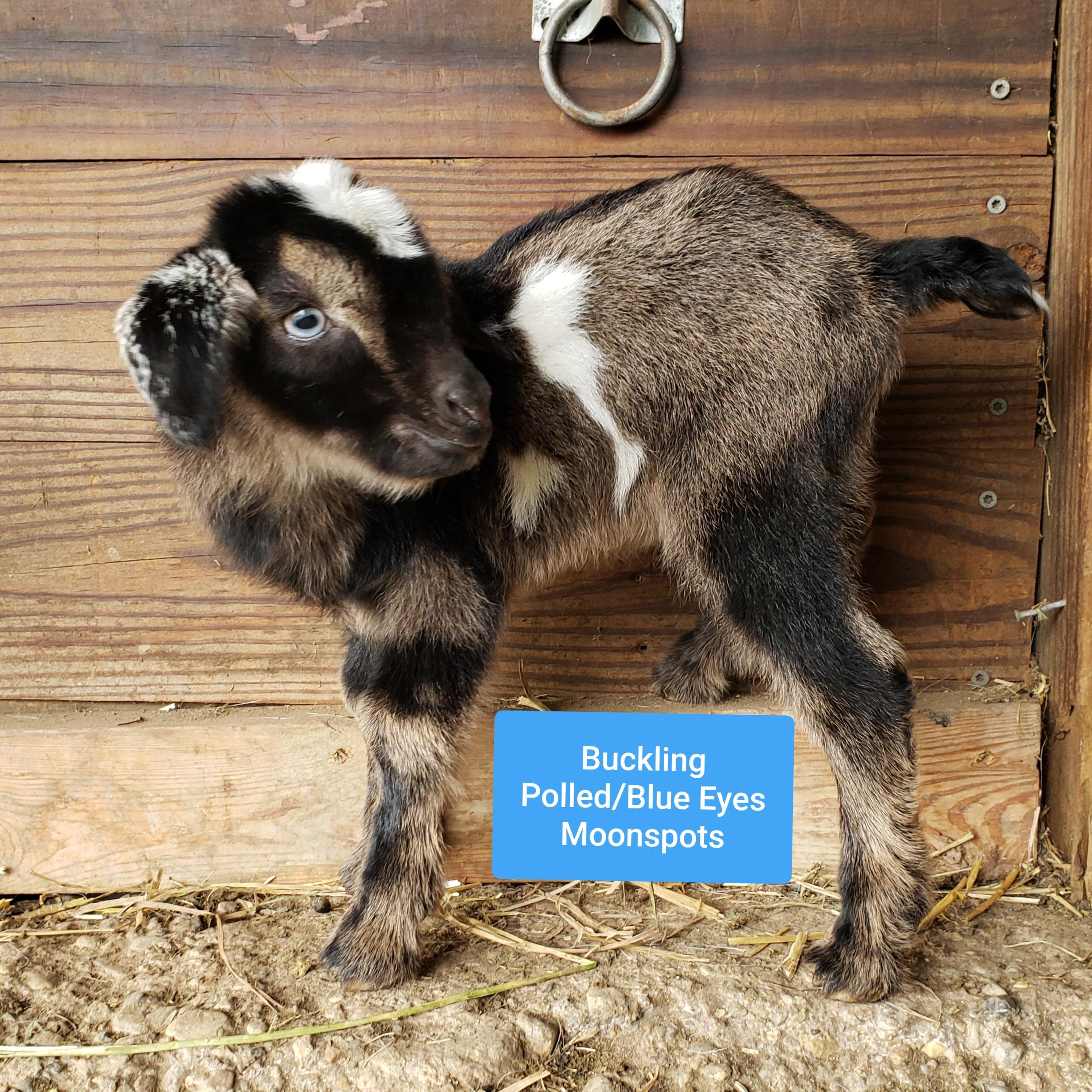 Gerdie X Blue = K39  Buck, Sold (Triplet)