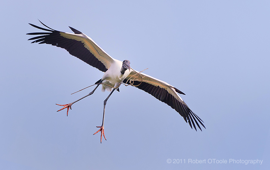 Wood stork with nesting material St Augustine Alligator Farm Zoological Park Robert OToole Photography