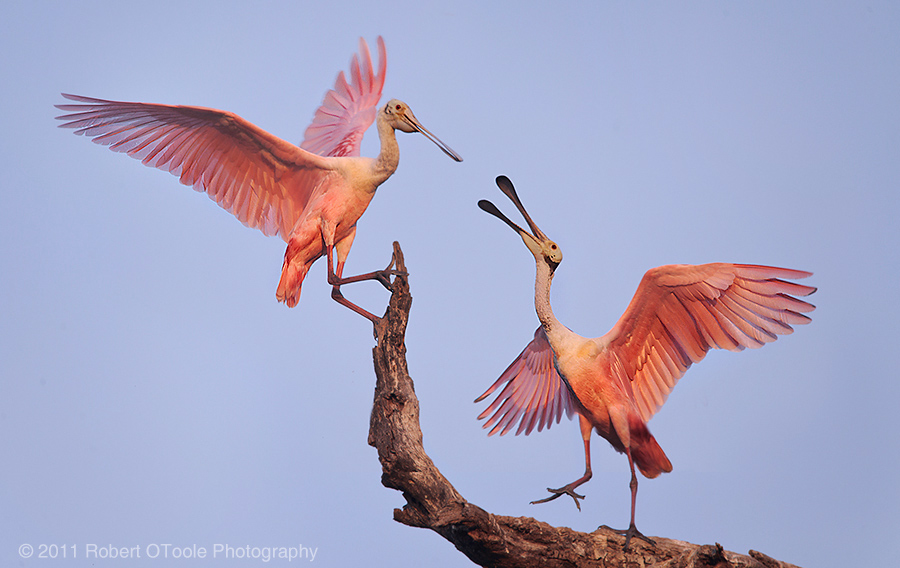 Spoonbills at St Augustine Alligator Farm Zoological Park Robert OToole Photography