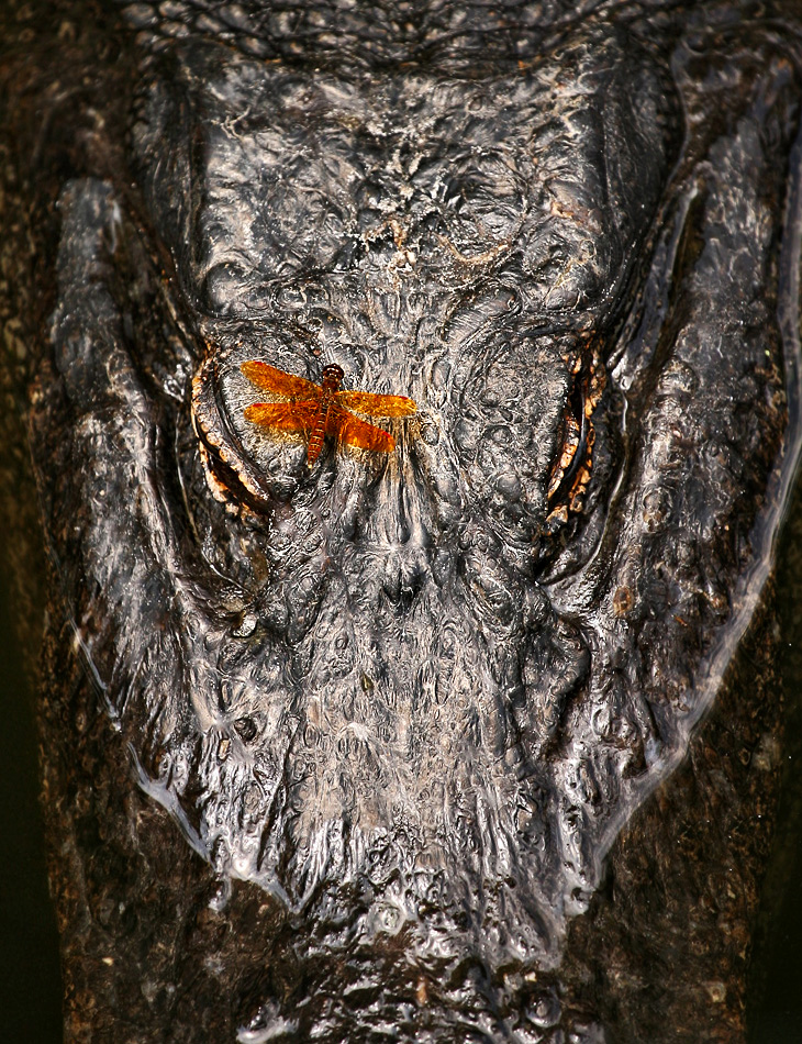 eastern amberwing dragonfly on Alligator St Augustine Zoological Park Robert OToole Photography