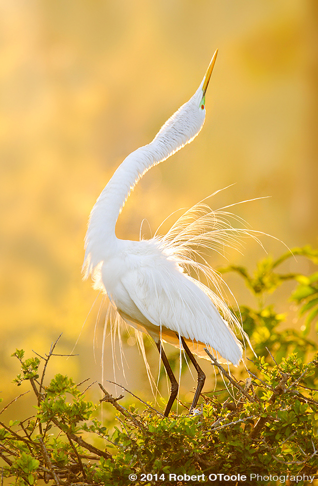 Great-Egret-Display-St-Aug-Alligator-Farm-Robert-OToole-Photography.jpg