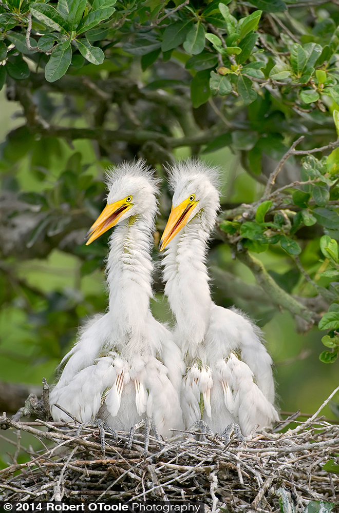Great egret nestlings at the SAAF rookery.