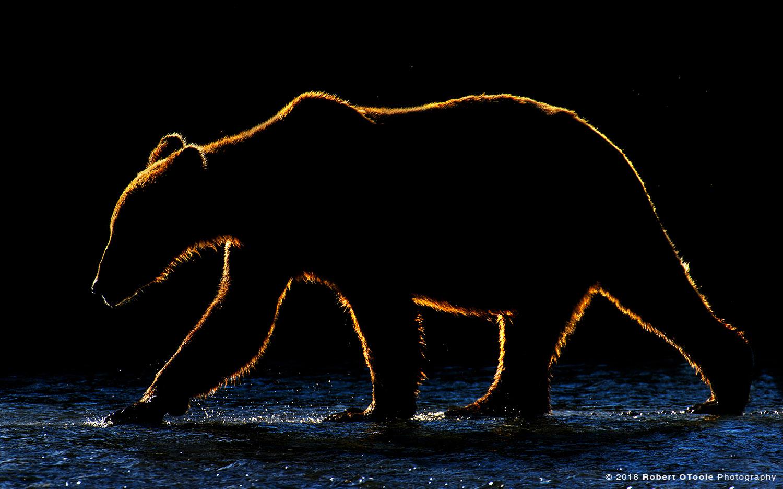 Back-lit Coastal Brown Bear