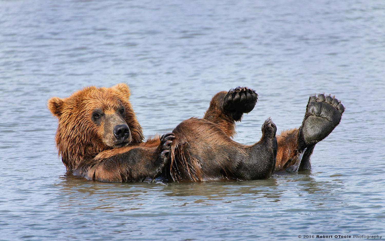 Bathing-bear-hallo-bay-2014-Robert-OToole-Photography