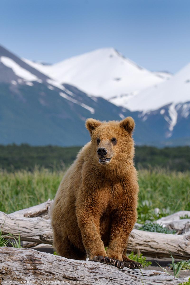 Bear-cub-portrait-Katmai-Alaska-Robert-OToole-Photography-2016