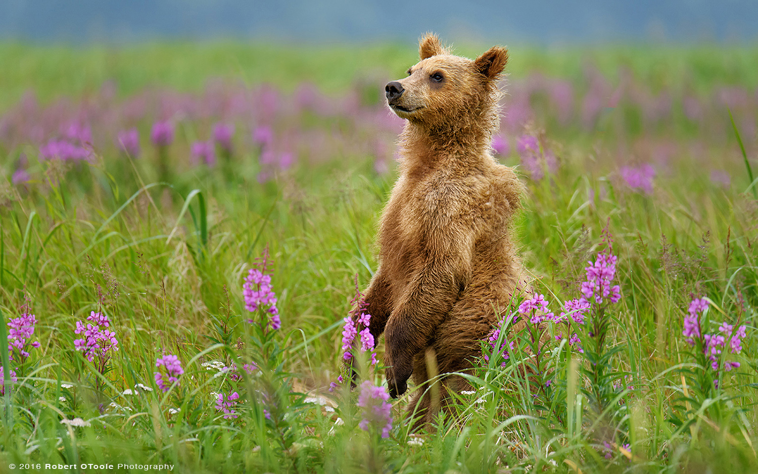 Bear-cub-in-fireweed-flowers-Robert-OToole-Photography