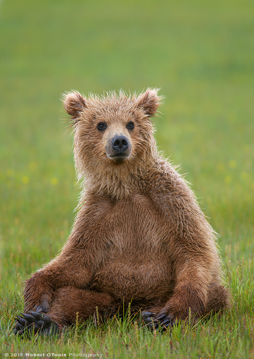 Bear-cub-sitting-up-Katmai-Alaska-Robert-OToole-Photography-2016