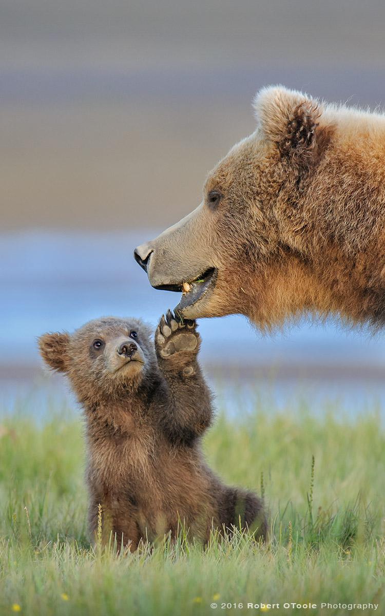 Bear-cub-touching-mother-alaska-Robert-OToole-Photography