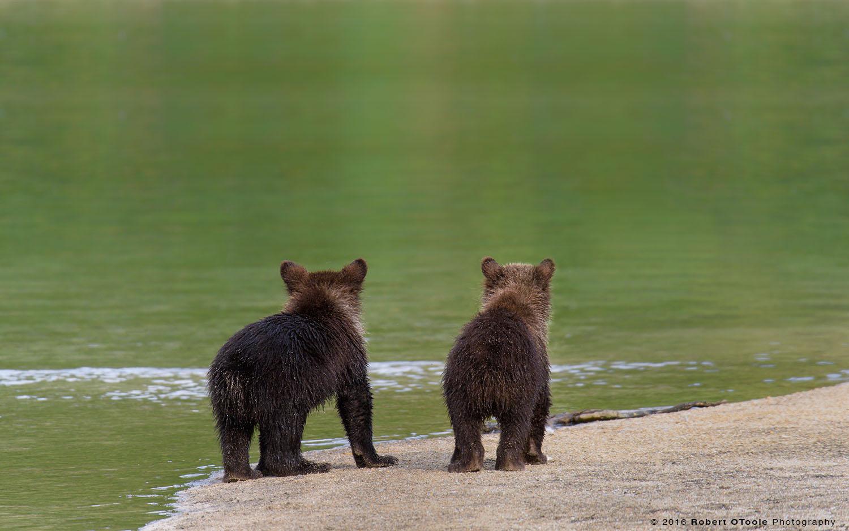 Bear-cubs-waiting-for-mom-Katmai-NP-August-2015-Robert-OToole-Photography