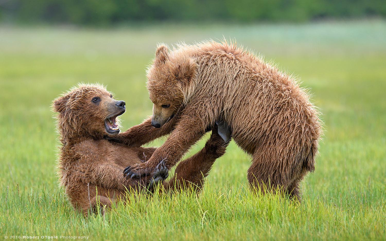 Bear-cubs-big-mouth-Katmai-Alaska-Robert-OToole-Photography-2016