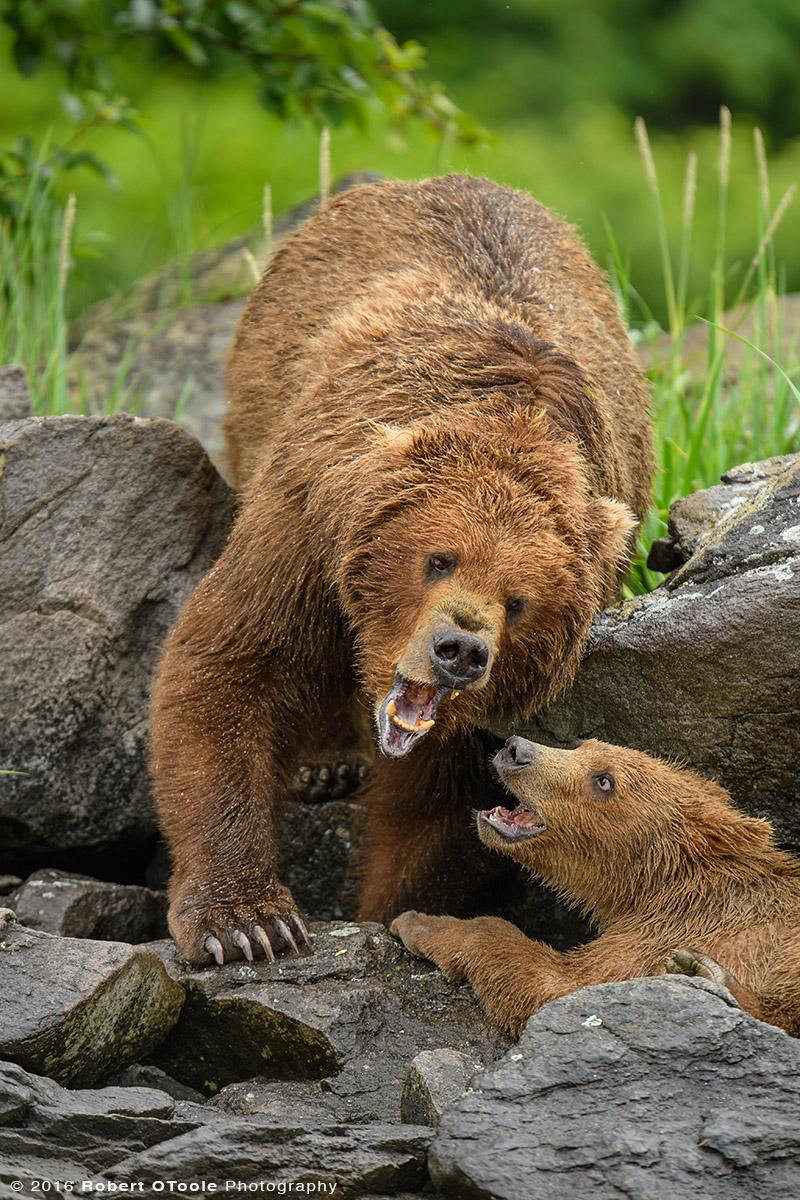 Bear-mother-cub-playing-on-rocks-Katmai-Alaska-Robert-OToole-Photography-2016